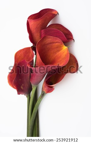 Brightly colored red and orange calla Lilly on white background - stock photo