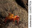 Brightly colored Sally Lightfoot crab (Grapsus grapsus) on rocky beach, Punta Espinoza, Galapagos Islands, Ecuador - stock photo