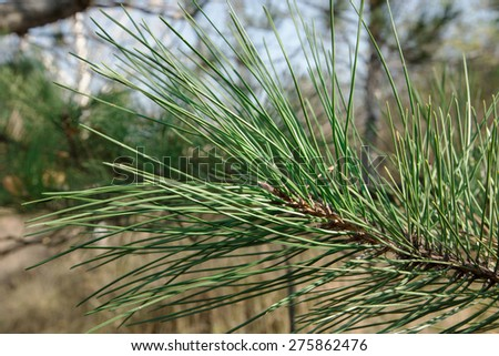 Brightly green prickly branches of a pine tree - stock photo
