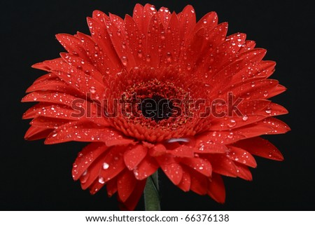 Brightly red chrysanthemum with water drops macro close up on a black background