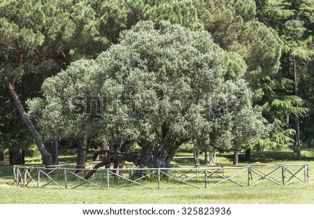 BRIJUNI, CROATIA - MAY 2015 - Famous 1700 years olive tree at Brijuni National Park. The tree is part of the tourist tour done with the electric trains.