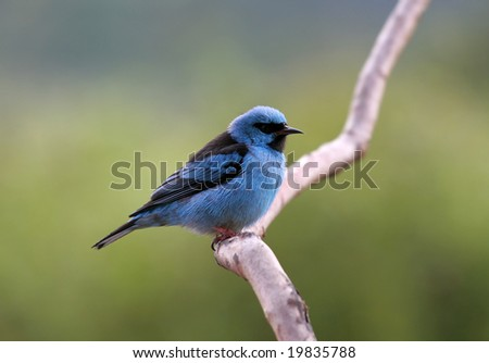 Brilliant Blue Dacnis (bird) in the Brazilian Rainforest - stock photo