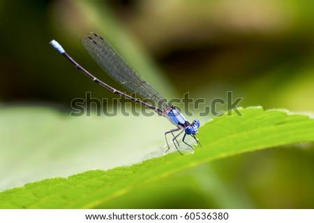 Brilliant blue damselfly closeup - stock photo