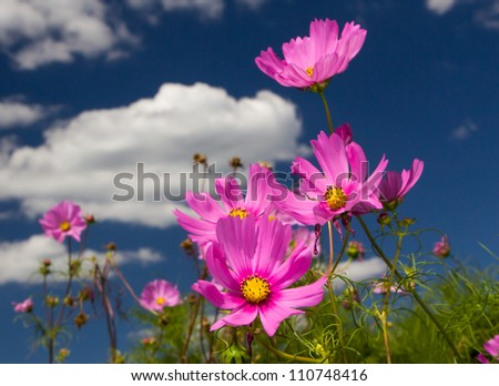Brilliant Cosmos stand out in the the sun.