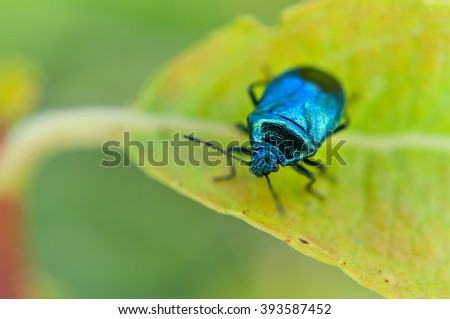 Brilliant forest pest species of Zicrona caerulea  blue-green color picture with shallow depth of field. - stock photo