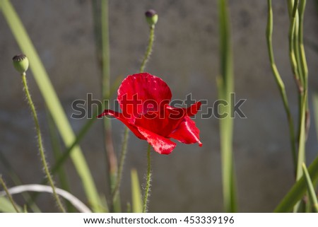 Brilliant intense brilliant red of the Flander's Poppy papaver rhoeas is contrasted against the black cross in the center and is a remembrance symbol of the First World War battle in Flander's fields, - stock photo