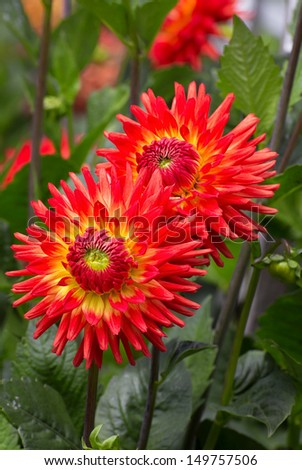 Brilliant Orange Dahlias with Green Foliage - stock photo