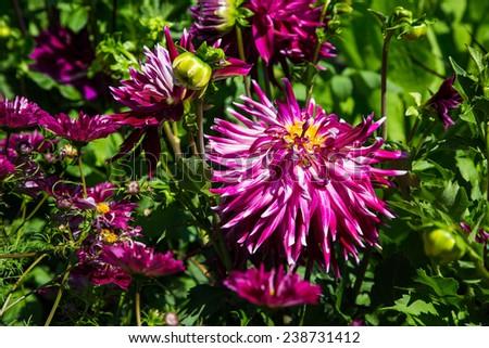 Brilliant, purple zinnias in a public garden - stock photo