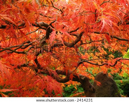 Brilliant red leaves on a Japanese Maple - stock photo