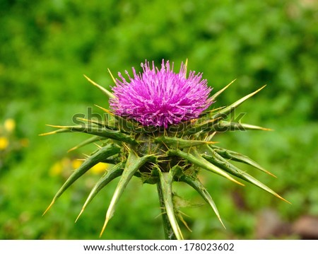 Brilliant silybum marianum in full bloom on greenish natural background and with fine water drops of rain on its attractive stamens - stock photo