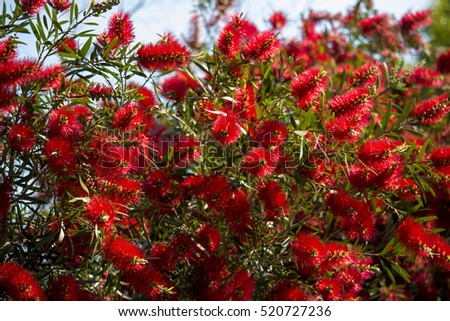 Brilliant West Australian wildflower red bottlebrush callistemon shrub blooming in Big Swamp, Bunbury, Western Australia in spring attracts honey bees and native birds to the sweet nectar.