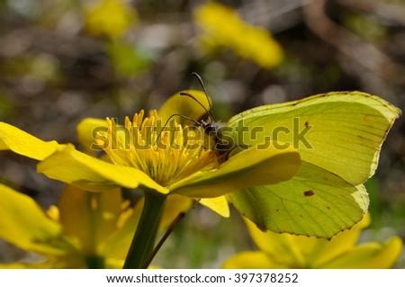 Brimstone butterfly (Gonepteryx rhamni powedery) is sitting on a marsh marigold flower, Puumala, Finland - stock photo