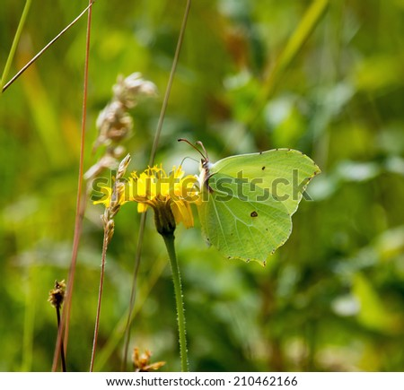 Brimstone Butterfly nectaring on flower, showing underwing. - stock photo