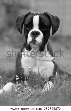 Brindle boxer dog puppy in black and white lying down - stock photo