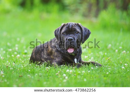 Brindle Cane Corso puppy lying outdoors on a green grass