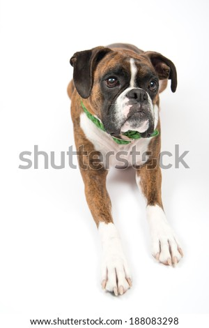 Simple Brindle Boxer Bow Adorable Dog - stock-photo-brindle-colored-cute-boxer-dog-on-white-background-wearing-green-collar-188083298  Image_451397  .jpg
