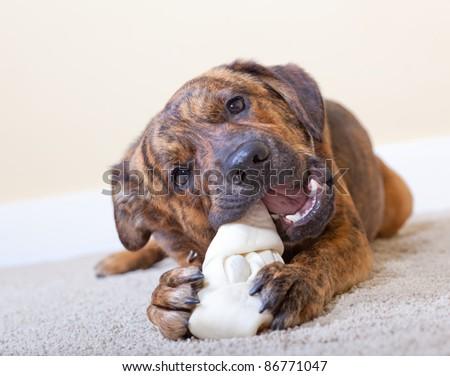 Brindled hound with a rawhide bone - stock photo