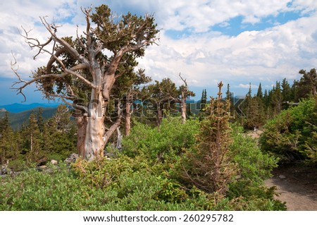 Bristlecone pine trees at Mt. Evans in Colorado. - stock photo