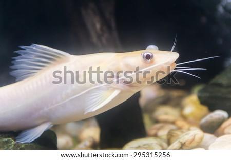 Bristlenose Pleco, catfish albino in Thailand - stock photo