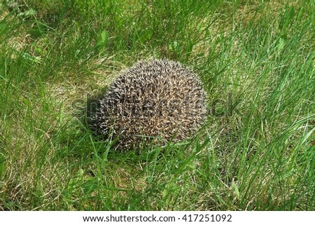 bristling hedgehog in the grass - stock photo
