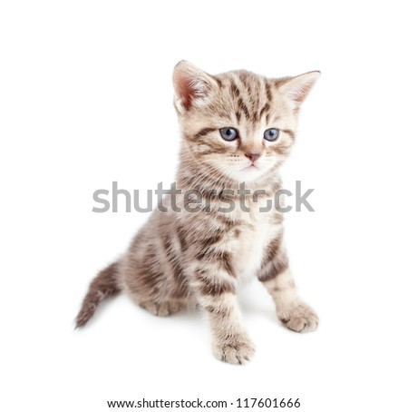 British baby cat or kitten sitting isolated