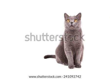 British blue cat on a white background. - stock photo