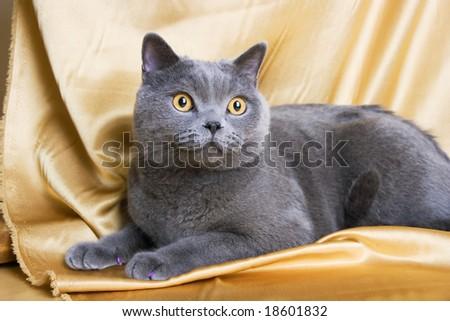 british blue cat on yellow background - stock photo