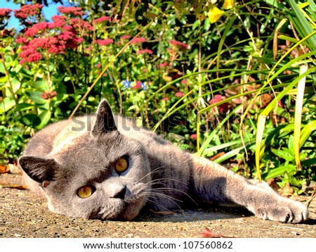 British Blue cat staring directly into the lens with bright shrubbery in background highlighting yellow eyes - stock photo