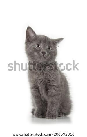 british blue shothair kitten isolated over white background - stock photo
