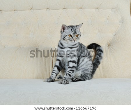 British breed gray cat sitting on the couch at home - stock photo