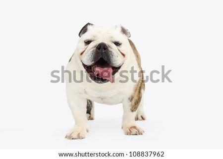 British Bulldog - stock photo
