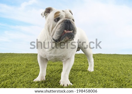 British bulldog standing on grass against the sky - stock photo