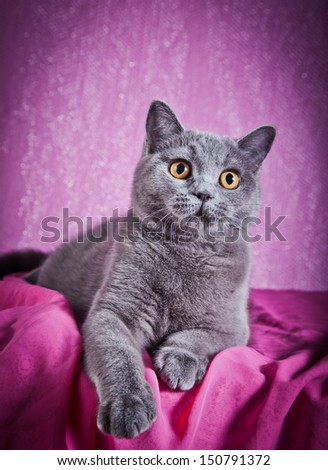 British cat, - stock photo