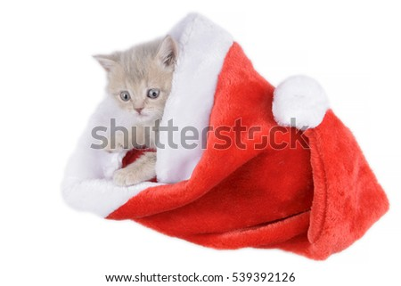 British cat in a red Santa's cap on a white background