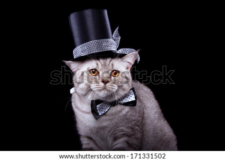 British cat in stylish dress on a black background - stock photo