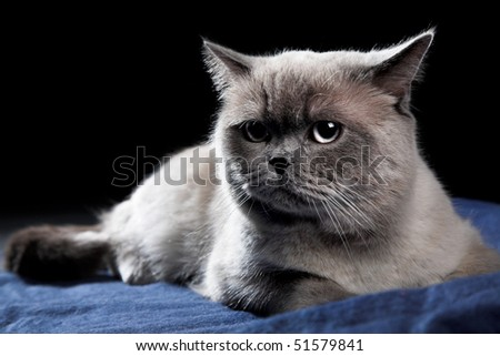 British cat isolated on the black - stock photo