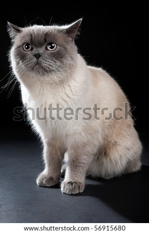 British cat isolated on the black