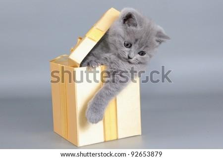British  cat, kitten blue  in gift box - stock photo