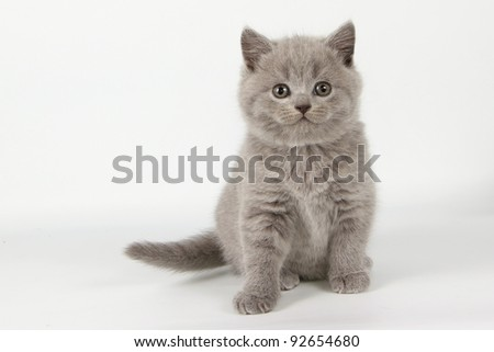British  cat, kitten blue isolated  on white background - stock photo