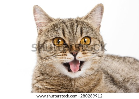 British cat licks his lips and looking at the camera (isolated on white) - stock photo