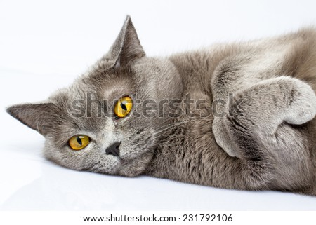 British cat lies on a white table