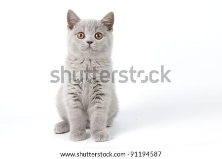 British cat of white background - stock photo