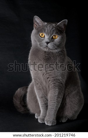 british cat on a black background in studio - stock photo