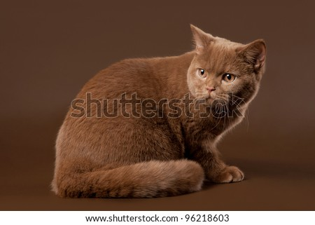 british cat on brown background - stock photo