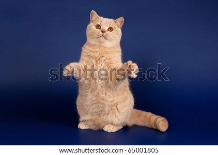 British cat on dark blue background - stock photo