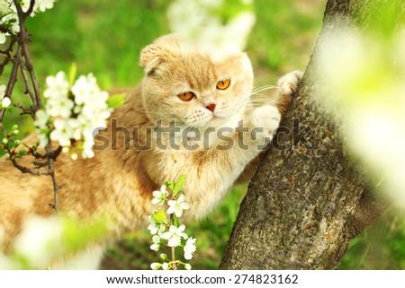British cat on spring tree - stock photo