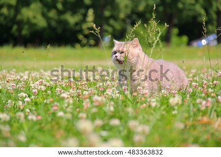 British cat on the nature
