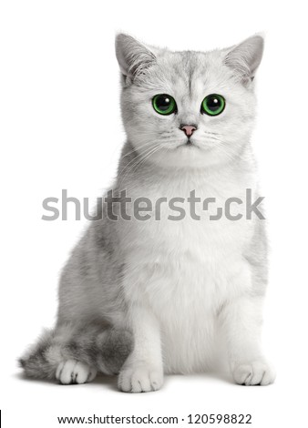 british cat on the white background - stock photo