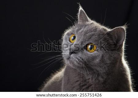 british cat portrait on black background  - stock photo