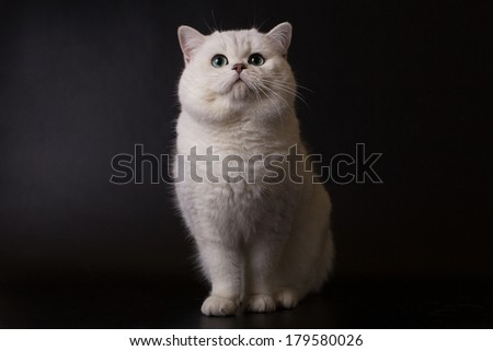 British cat, white on a black background - stock photo